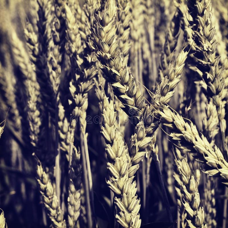 The field of grain royalty free stock photos