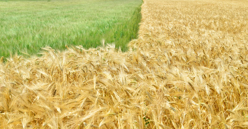 Field of grain. A field with green and golden grain royalty free stock photo