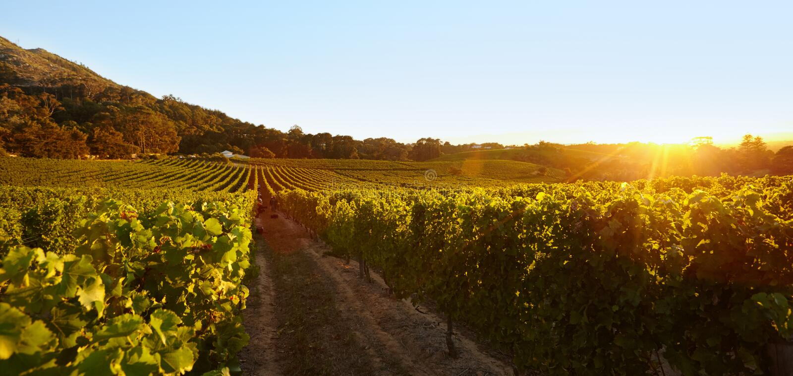 Field of grape vines under clear blue sky royalty free stock photo