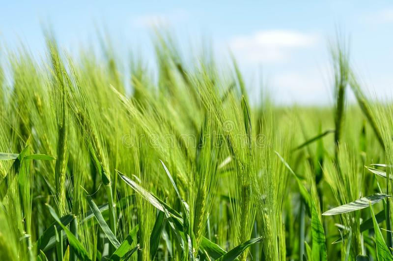 Field, Grass, Crop, Grass Family Free Public Domain Cc0 Image