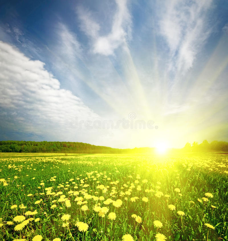 Download Field Of Grass With Dandelion In Sunset Stock Image - Image: 15512819