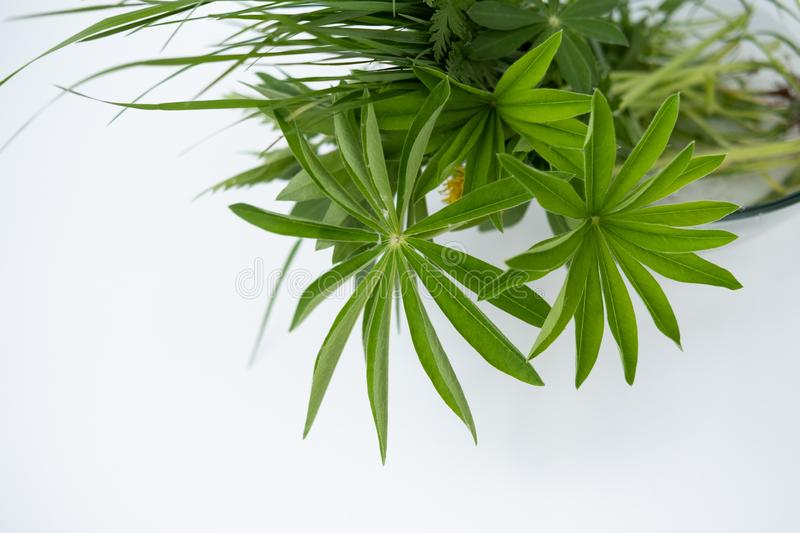 Field grass with lupine leaves in a bowl of water on a white background stock photos