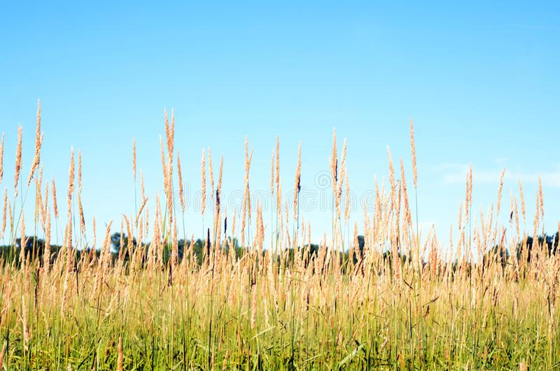 Field Grass seed heads tall against blue sky stock photos