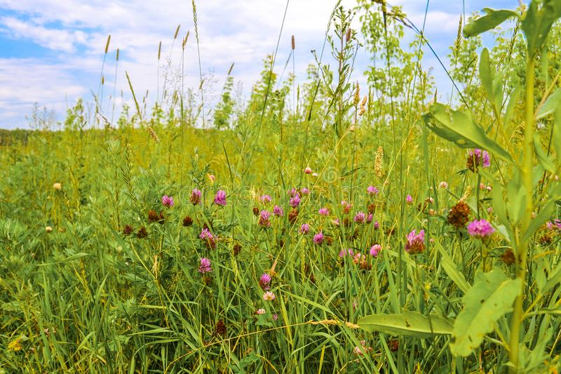 Field grasses in the central part of Russia. Summer landscape.  royalty free stock photography