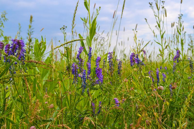 Field grasses in the central part of Russia. Summer landscape.  stock photography