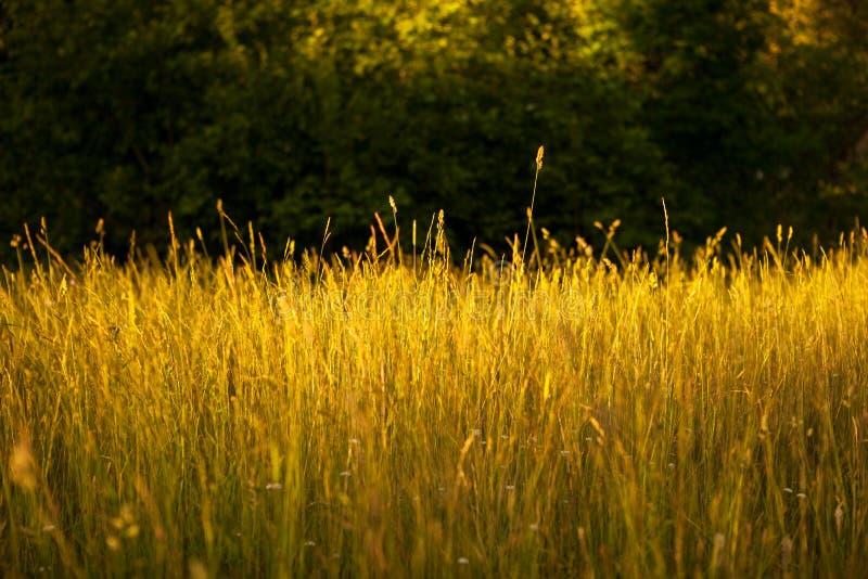 Field of grasses. Field of golden grasses in sunlight stock images