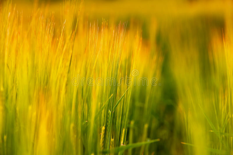 Field of green barley. Blades of barley in the light of the setting sun stock images