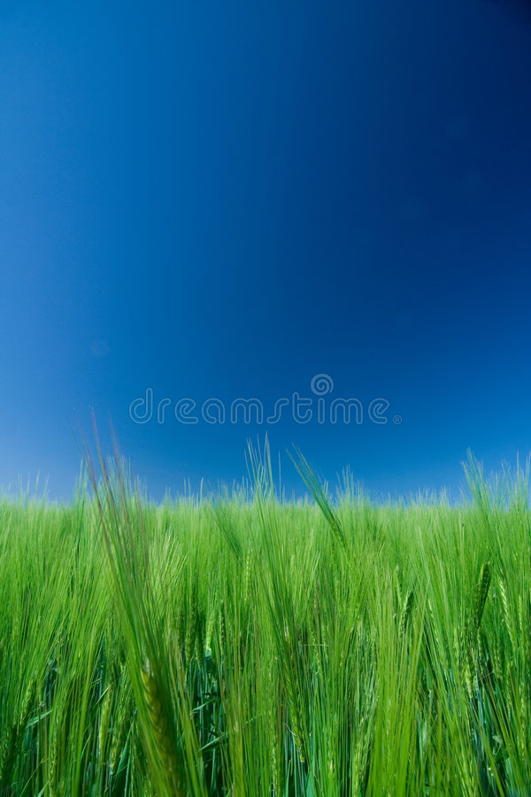 field of green barley/blue sky stock images