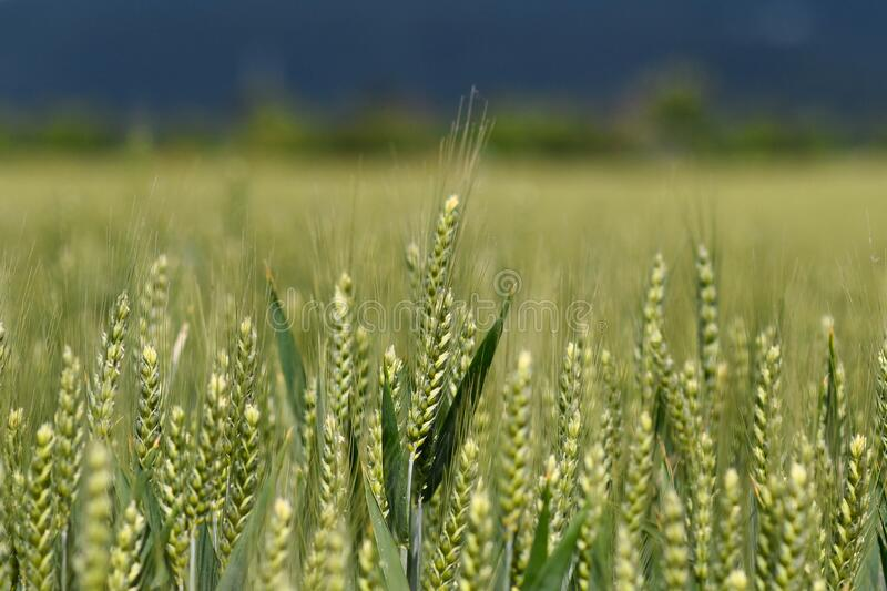 Field with green barley cereal grain plants. In spring stock photos
