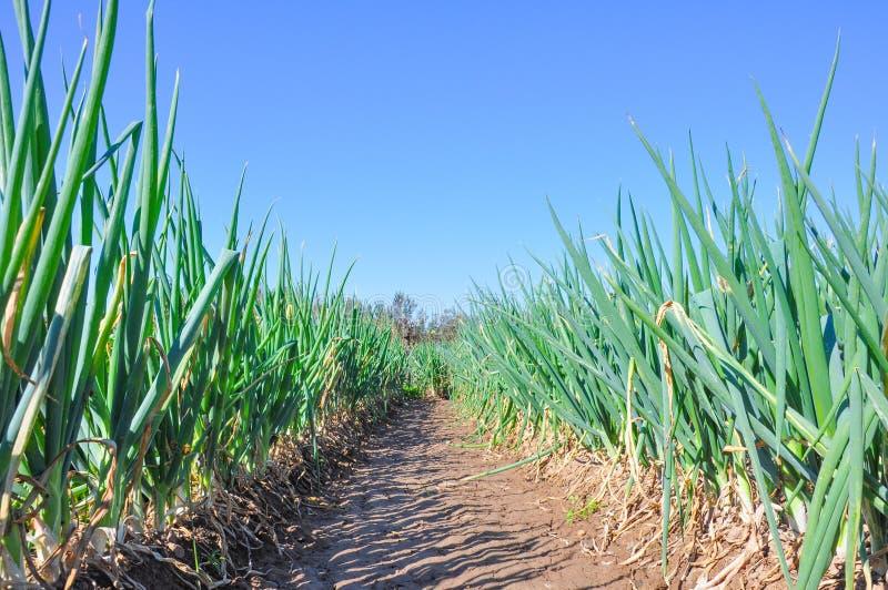 Green Chinese onion Crops farmland.  stock photo