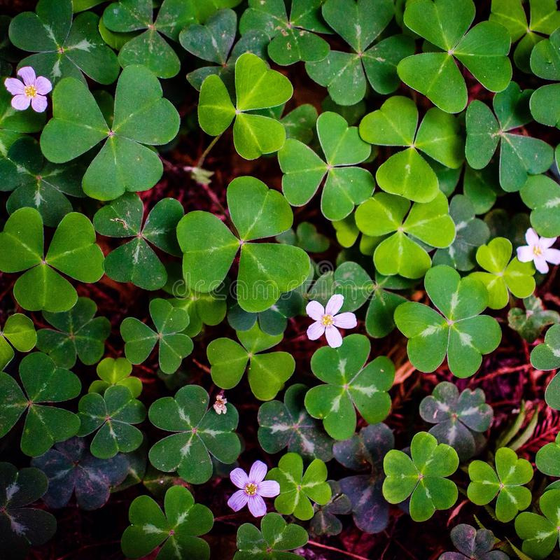 Field of green clovers royalty free stock image