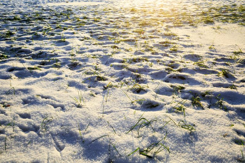 Field with green grass covered snow in winter during sunset. Meadow under the snow. Winter landscape. stock photography