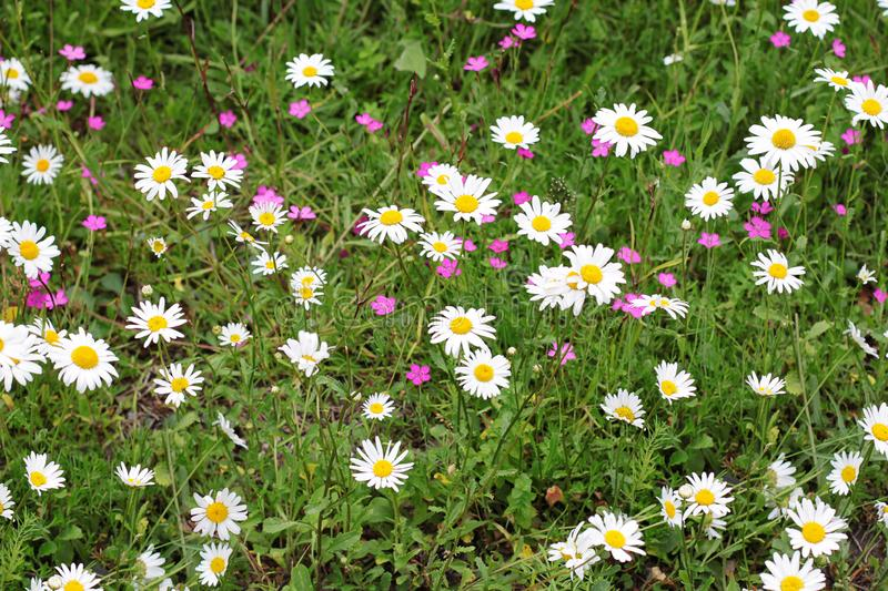 Field of green grass with flowers daisies. Chamomile and forget-me-not are surrounded by lawn royalty free stock photos