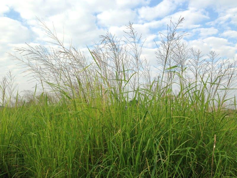 Field of green grass and sky. Endless green grass field stock photo