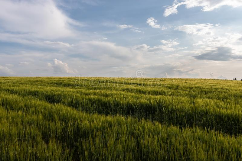 The field of green oats is enlightened by the evening sun. The field of green oats is enlightened by the evening sun under the blue sky with white, shining stock photography