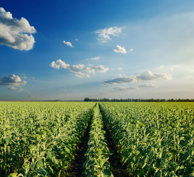 Download Field With Green Sunflowers Stock Image - Image of grow, blue: 27165187