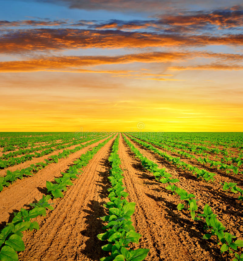 Download Field With Green Sunflowers Stock Photo - Image: 39239897