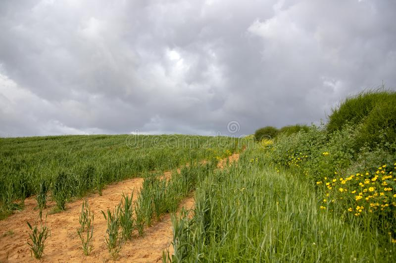 A field of green wheat against the backdrop of a stormy sky. Sideways yellow flowers and bushes stock images