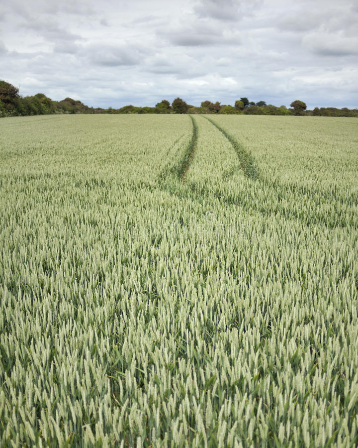 Field of Green Wheat. royalty free stock images