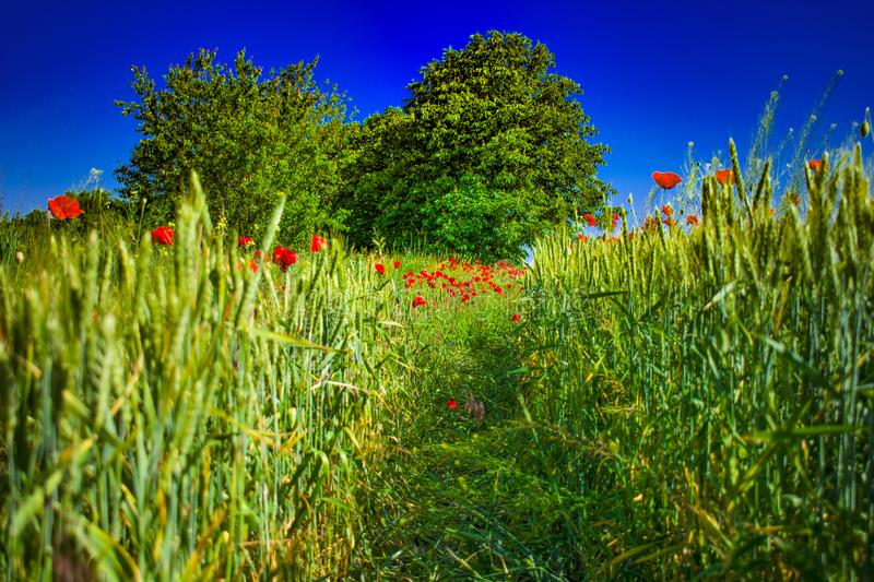 Field of green wheat with red poppies.  royalty free stock image