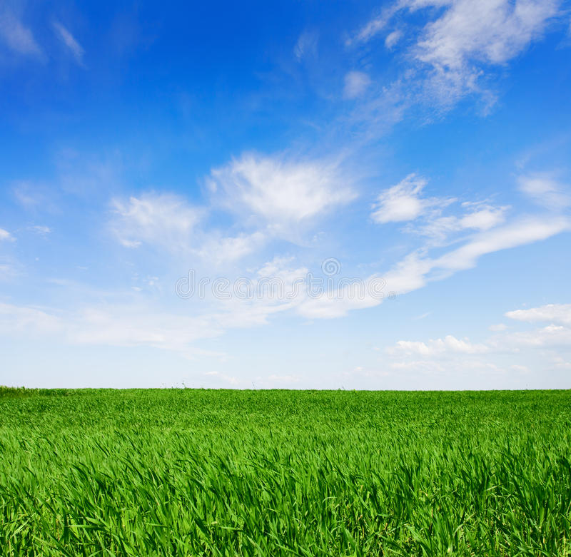 Field of green wheat. royalty free stock image