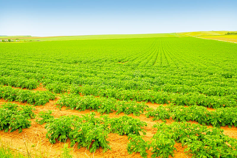 Field Of Growing Potatoes Royalty Free Stock Photography