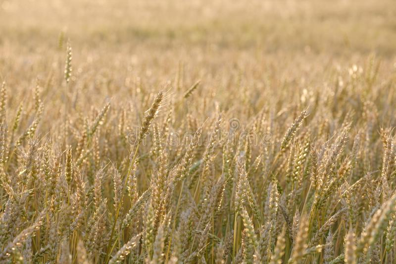 A field of growing wheat in the summer at sunset, natural color is not tinted stock photos