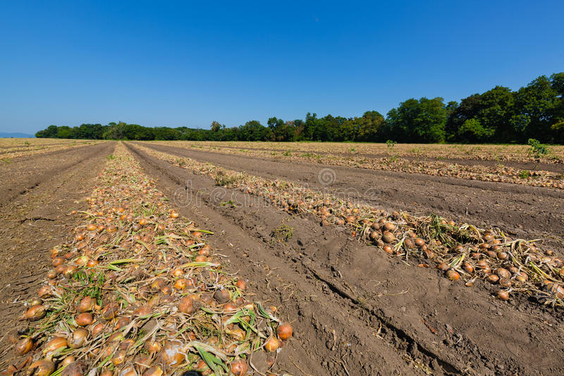 Field at harvest onions stock photo