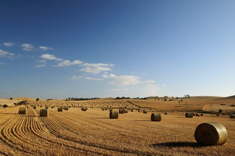 Field of hay, Barossa Valley stock photo