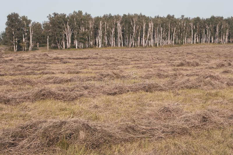 A field with hay and a birch forest at the end. Hay cut, lying in rows. Selective focus in the foreground. The background is blurry stock photography