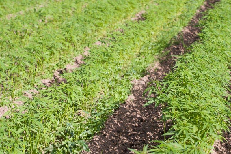 Field of hemp Cannabis Sativa stock photography