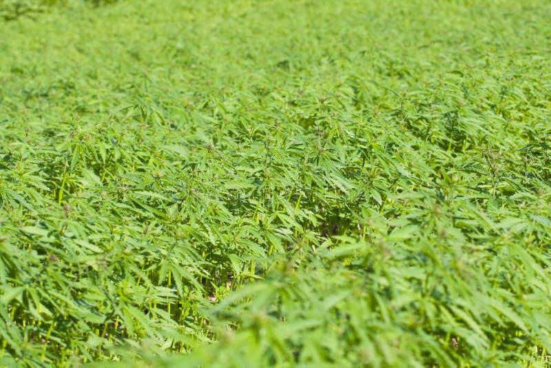 Field of hemp Cannabis Sativa stock image