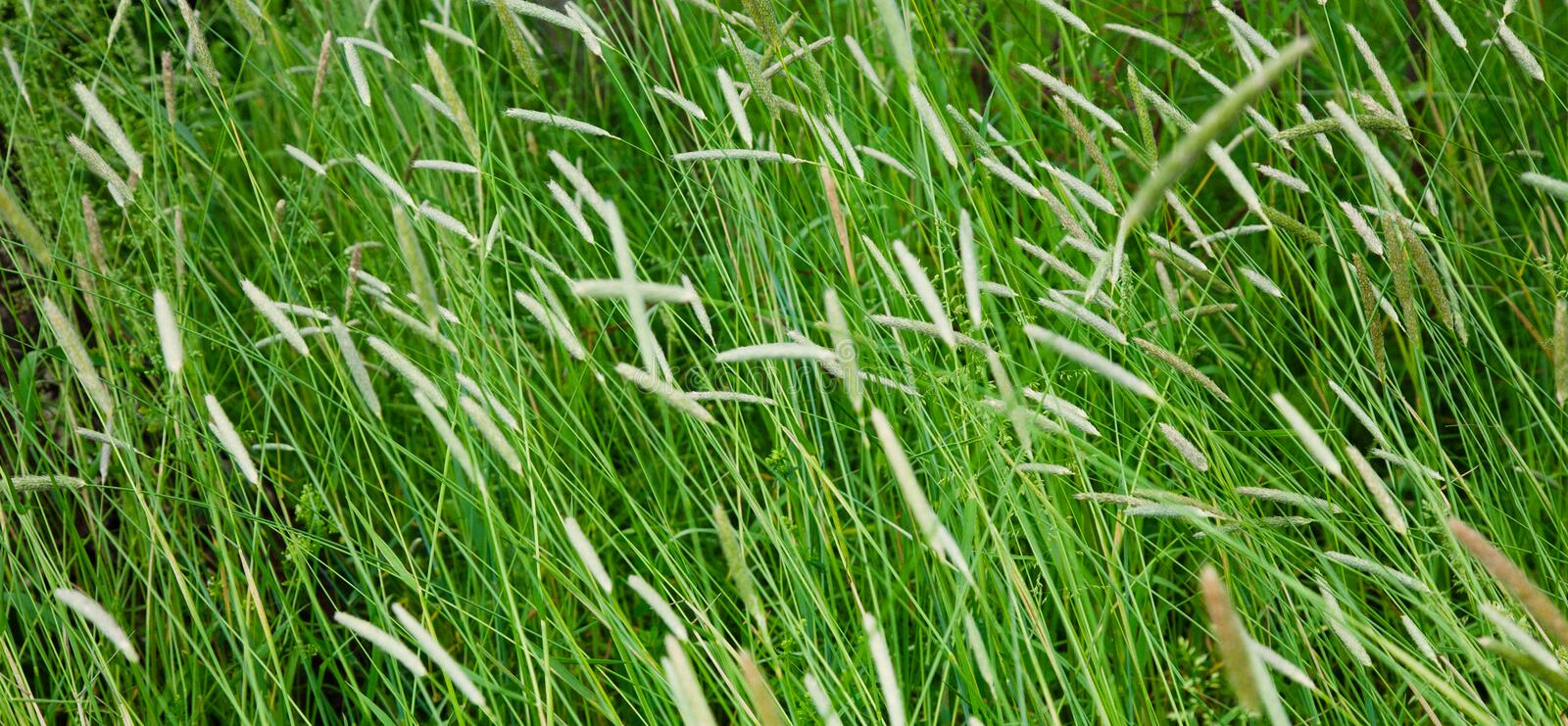Field with a high Timothy grass. With selective focus. Panoramic Nature Background of a green Phleum grass close up. Wide Screen Web banner With Copy Space royalty free stock photo
