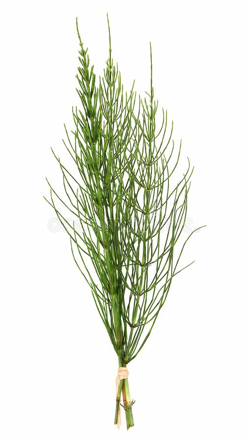 Field horsetail, Equisetum arvense stock photos