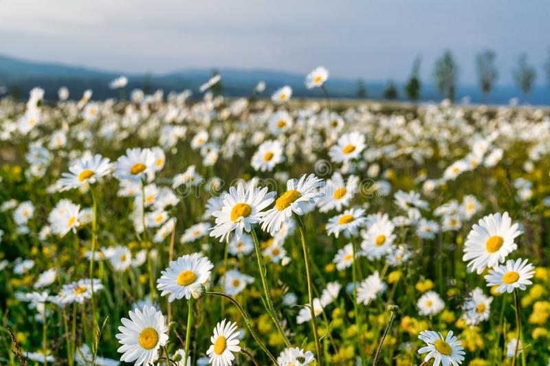 Field of Daisies. A field of hunders of white daisies royalty free stock photography