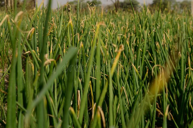 Field of indian onion plant low angle view closeup shot. At field stock image