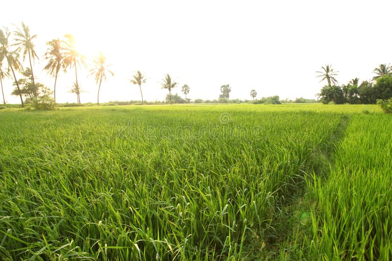 Rice field in indian villages of the maharashtra. Field in indian villages of the maharashtra royalty free stock photo