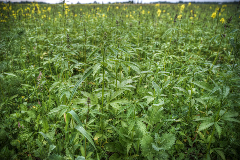 Field of industrial hemp in Estonia. Northern Europe stock photography