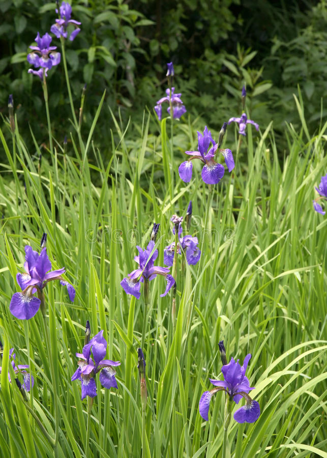 Field of Iris stock photos