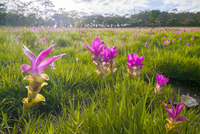 Download Field Krajeaw Flowers (tulip Thailand). Stock Photo - Image of bloom, fresh: 50839846