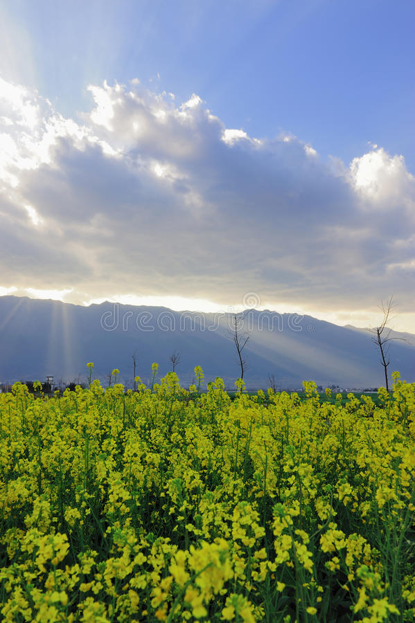Download Field landscape of flowers stock image. Image of agriculture - 13157193