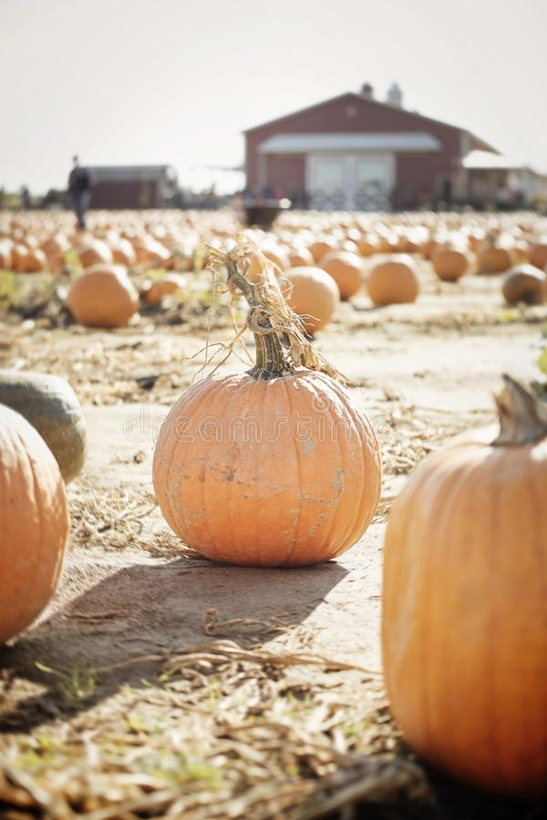Pumpkins-2019-1. A field of large pumpkins on a farm on a sunny fall day royalty free stock photo