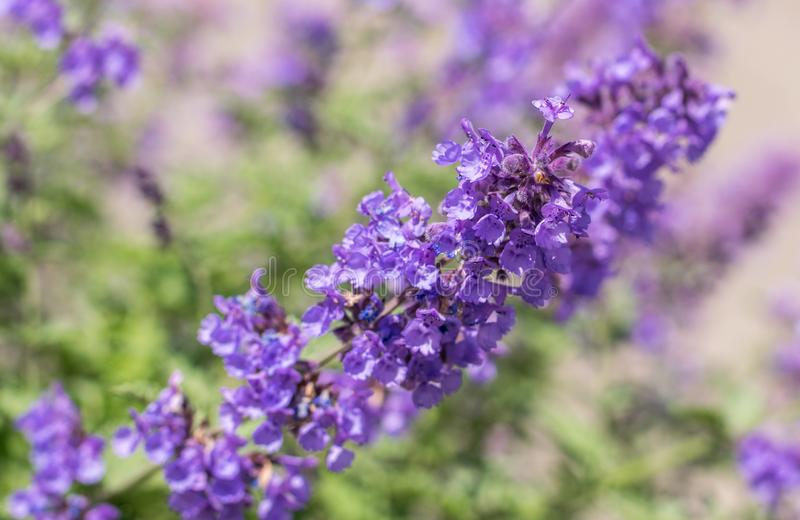 Field of Lavender, Lavandula angustifolia, Lavandula officinalis royalty free stock photography