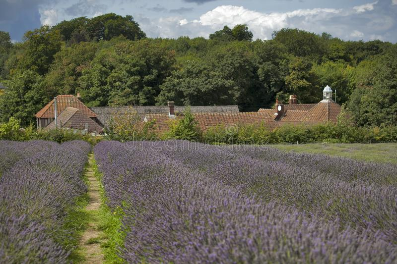 Field of lavender at Mayfield Lavender farm on the Surrey Downs stock photography