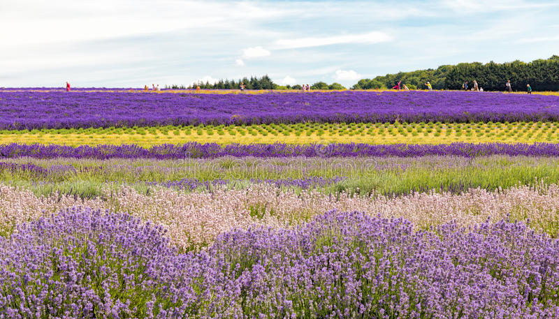 Field of Lavender, Worcestershire, England. Beautiful varieties of Lavender at different stages of growth in a Worcestershire field. Visitors in the background stock image