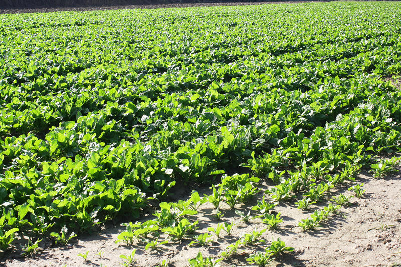 Download Field With Lettuce Royalty Free Stock Images - Image: 22014429