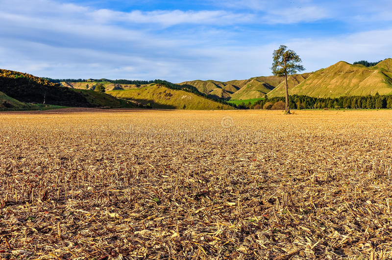 Field with lonely tree in Whanganui National Park, New Zealand royalty free stock photography