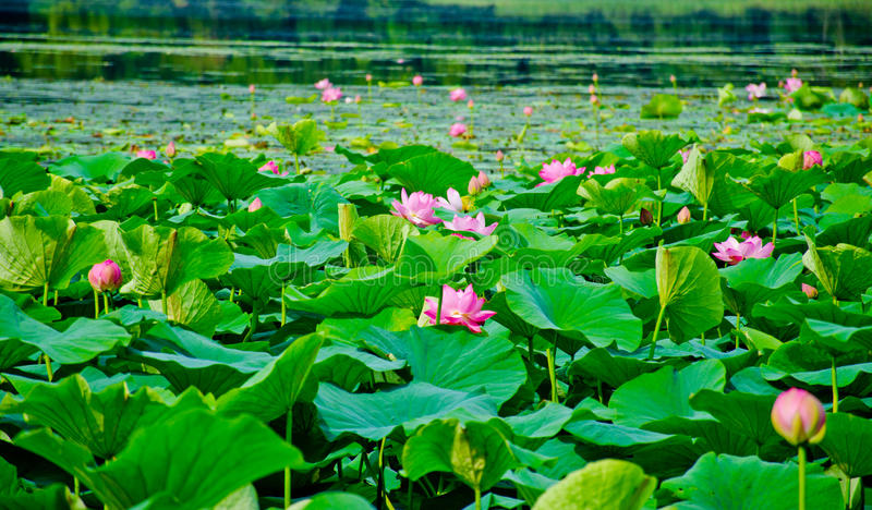 Field of lotuses royalty free stock images