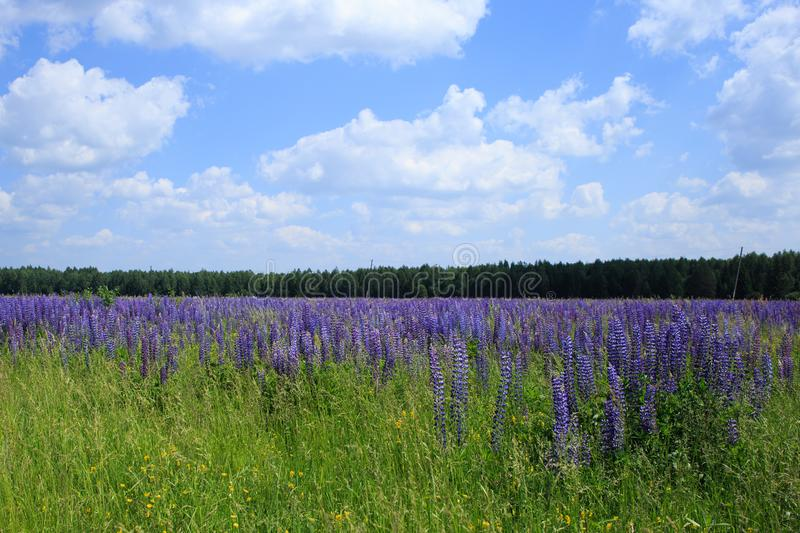 Field of lupine flowers under blue sky.  royalty free stock images