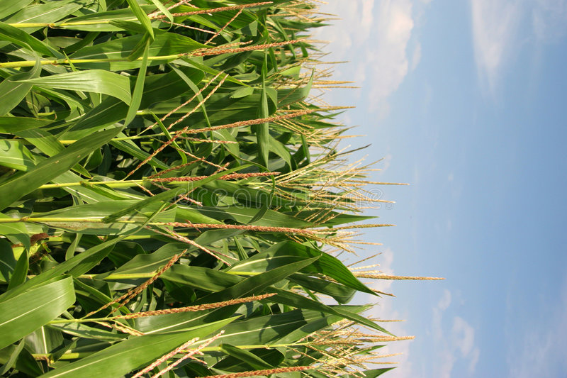 Field of Maize royalty free stock photos